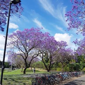 Jacaranda season October